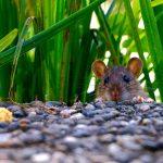 הדברת מזיקים טורדניים - עכברים וחולדות